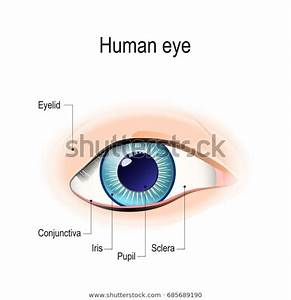 Anatomy Human Eye Front View External Stock Illustration