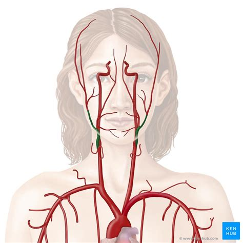 Common carotid arteries travel superiorly in the neck in the carotid sheath in. External carotid artery: Branches and mnemonics | Kenhub