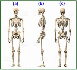 Bone Structure And Skeletal System Of Human Body  A