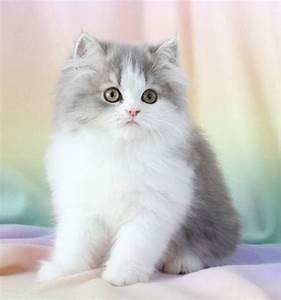 Blue Chinchilla Golden Kittens - Rare Persian Kittens ...