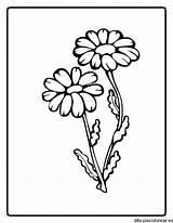 Colorir Desenhos Planta Plantas Margaritas Colorear Dibujos Desenho Flores Flowers Dibujo Dibujar Partes Dos Medianas Uma Az Applique Pintar Imagem sketch template