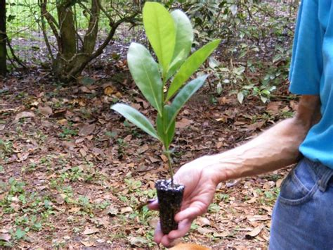 magnolia tree sapling top 28 magnolia tree sapling willow garden musings how to care for magnolias planting from