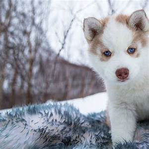 These Husky Puppies Playing In The Snow Are Cute Beyond ...