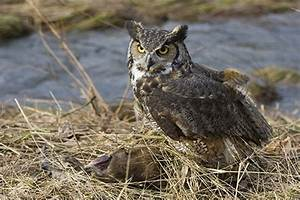 What Do Great Horned Owls Eat | Great Horned Owls Diet and ...