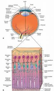 Structure Of The Eye And Retina   A  Different Components