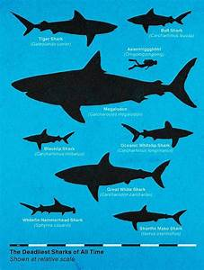 Great White Shark clipart comparison human - Pencil and in ...