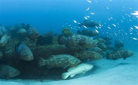 goliath groupers spawning mag ray dive aggregation