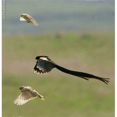 long tailed widowbird..Birds in the forest..Pinterest