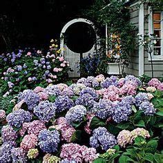 beautiful lilac hydrangea bushes images blue