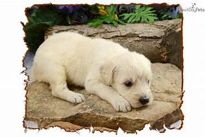 Meet FHCRF 10 a cute Shepadoodle puppy for sale for $900 ...