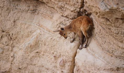 planet earth  baby ibex   escape red foxes tv