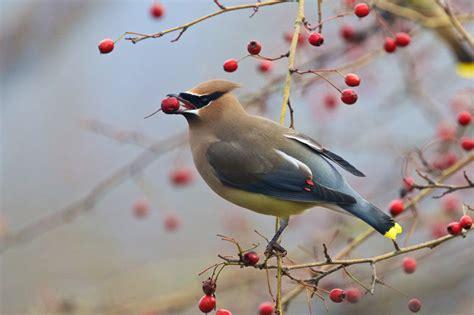 cedar waxwing eating berries birdnote