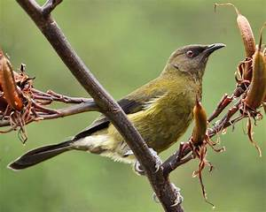 New Zealand bellbird - Wikipedia