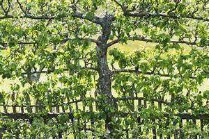 Spalierobst Pflanzen Mein Schner Garten