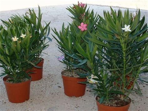 taille des lauriers roses en pot laurier nerium oleander taille bouturage entretien