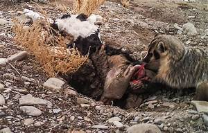 A badger can bury a cow by itself: Study observes ...
