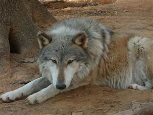 144 best images about Wolf Hybrid on Pinterest