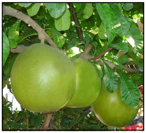 Cujete, Crescentia Cujete, Calabash Tree Philippine
