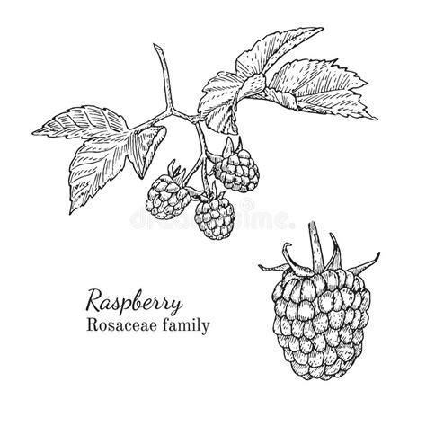 raspberry bush clipart black and white ink raspberry sketch stock vector