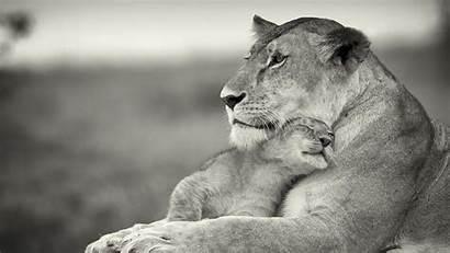 Lion Cub Child Wallpapers Animals