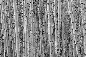 Papier Peint Arbre Noir Et Blanc : papier peint scandinave bouleau blanc izoa ~ Nature-et-papiers.com Idées de Décoration
