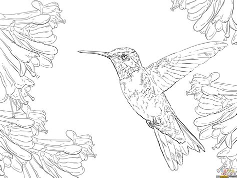 Ruby Throated Hummingbird Coloring Pages Free Printable