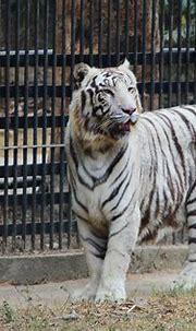 File:Bengal White Tiger in Delhi Zoo.jpg - Wikimedia Commons