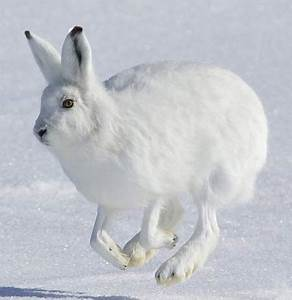 5 Interesting Facts About Arctic Hares | Hayden's Animal Facts