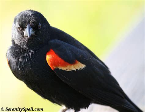 red winged blackbird serenity spell