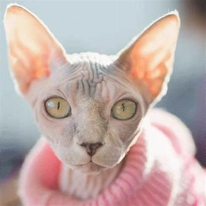 Cat Sphynx Breeds Issue Animal Breed Human