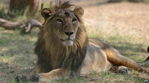 Why Dozens Of India's Asiatic Lions Are Dying