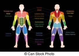 Diagramm  Koerper  Muskel  Namen  Weibliche   Koerper