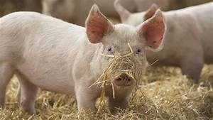 Farmer U0026 39 S Guide To Different Enrichment Types For Pigs