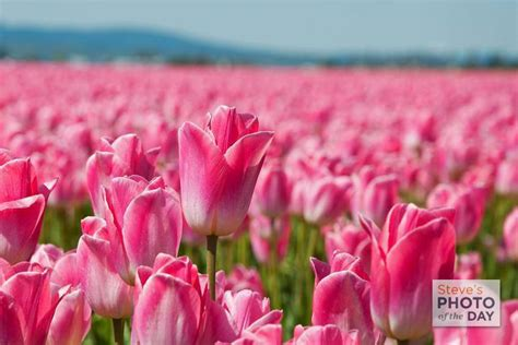 tulip season in usa top 28 tulip season in usa 17 best ideas about tulips holland on pinterest holland a rainy