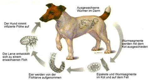 bandwuermer bei hunden lassen sie den kot untersuchen