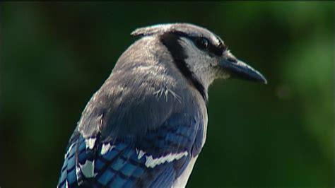 Backyard Identification by Nature At Home Backyard Bird Identification
