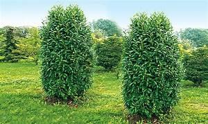Säulen Pflanzen Winterhart : bis zu 12 rabatt s ulen kirschlorbeer 39 genolia 39 groupon ~ Frokenaadalensverden.com Haus und Dekorationen