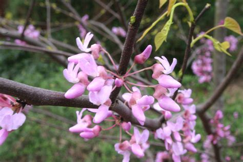 hearts of gold redbud cercis hearts of gold planthaven international