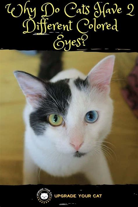 eyes different cats colored why cat they kittens animals colors yellow mesmerizing whether features most