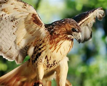 Hawk Tail Tailed Close Eagles Falconry Different