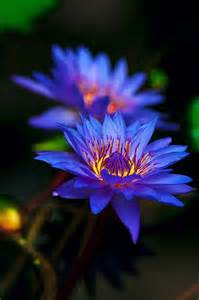 Blue Flower Lotu Water Lily