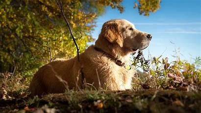 Labrador Retriever Dogs Puppies