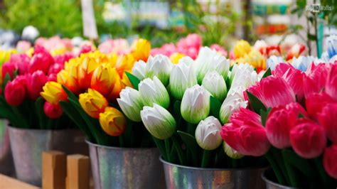 Hd Tulip Picture by Tulips Background Wallpaper 70 Images