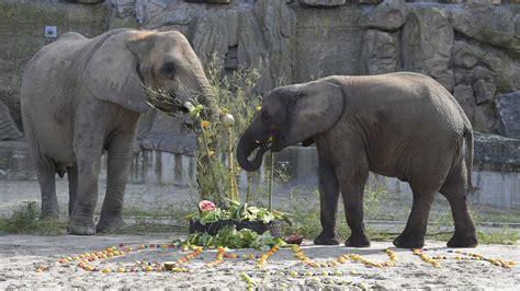 tiergarten schoenbrunn elefant iqhwa feierte  geburtstag