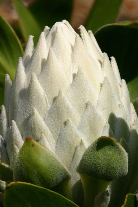 witte protea bloemen witte protea cynaroids knop stock foto afbeelding