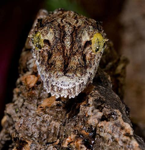 uroplatus sikorae sikorae mossy leaf tailed gecko flickr