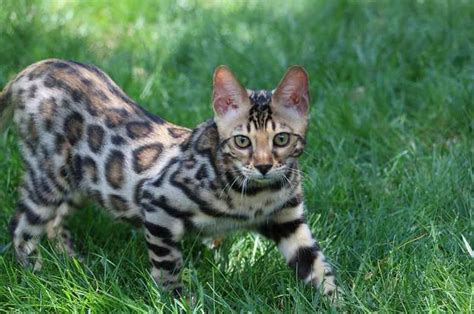 Bengal Cat  Information, Pictures, Personality & Facts