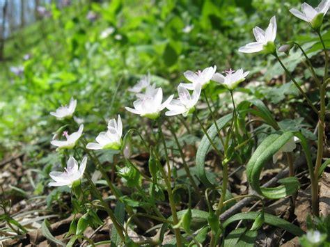 pennsylvania wildflowers 20 171 april 171 2011 171 the sanguine root