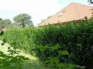 Ilex Hecke Giftig : heckenpflanzen kaufen ilex heckenstar stechpalme ~ Lizthompson.info Haus und Dekorationen