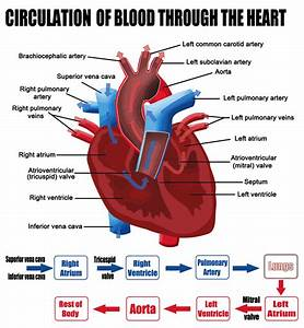 Circulation Of Blood Through The Heart  Diagram